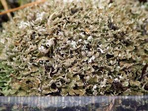 (Cladonia strepsilis - O-L-200000)  @11 [ ] by-nc (2015) Einar Timdal Natural History Museum, University of Oslo, Norway