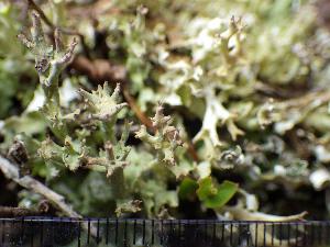 (Cladonia turgida - O-L-200932)  @11 [ ] by-nc (2016) Einar Timdal University of Oslo, Natural History Museum