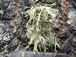 (Ramalina sinensis - O-L-201303)  @11 [ ] by-nc (2016) Einar Timdal University of Oslo, Natural History Museum
