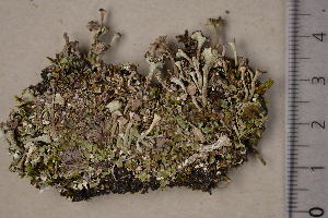 (Cladonia cervicornis - TRH-L-16326)  @11 [ ] CreativeCommons - Attribution Non-Commercial (2016) Jana Steinová Charles University