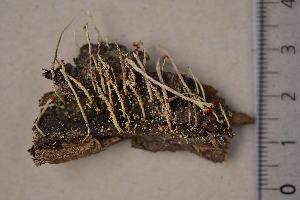 (Cladonia macilenta - TRH-L-16585)  @11 [ ] CreativeCommons - Attribution Non-Commercial (2016) Jana Steinová Charles University
