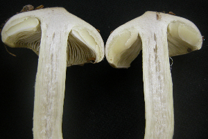 (Tricholoma portentosum - TRTC150958)  @11 [ ] Unspecified (default): All Rights Reserved  Unspecified Unspecified
