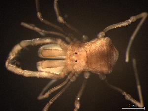 "(Stygnommatidae - DNP7021)  @11 [ ] by-nc-nd (2014) Daniel N Proud Museo Argentino de Ciencias Naturales ""Bernardino Rivadavia"""