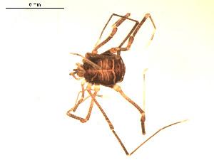 (Cosmetidae - BIOUG00524-C09)  @13 [ ] Copyright  G. Blagoev 2010 Unspecified