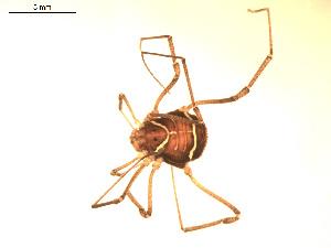 (Cosmetidae - BIOUG00524-C11)  @13 [ ] Copyright  G. Blagoev 2010 Unspecified
