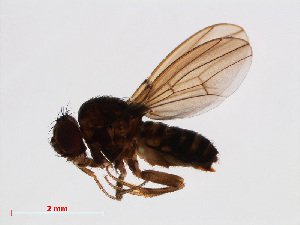 (Drosophila repleta sp. B - 13026-09)  @12 [ ] CreativeCommons Attribution Non-Commercial Share-Alike (2013) Unspecified Naturalis Biodiversity Centre