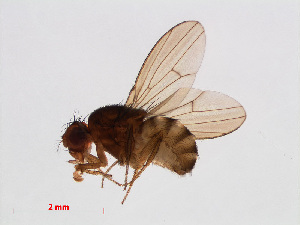 (Drosophila fuscolineata - 13026-10)  @11 [ ] CreativeCommons Attribution Non-Commercial Share-Alike (2013) Unspecified Naturalis Biodiversity Centre