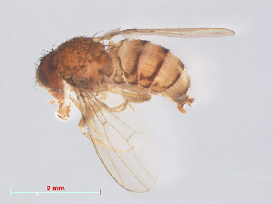 (Drosophila mercatorum - 14003-25)  @13 [ ] CreativeCommons - Attribution Non-Commercial Share-Alike (2013) Unspecified Naturalis Biodiversity Centre