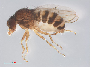 (Drosophila hydei - 14003-26)  @15 [ ] CreativeCommons - Attribution Non-Commercial Share-Alike (2013) Unspecified Naturalis Biodiversity Centre