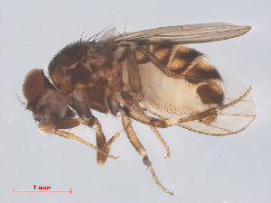 (Drosophila repleta - 14003-31)  @14 [ ] CreativeCommons - Attribution Non-Commercial Share-Alike (2013) Unspecified Naturalis Biodiversity Centre