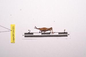 (Pyrgomorpha - LopeORT14-021)  @12 [ ] by-nc-sa (2014) Nicolas Moulin Nicolas Moulin entomologie
