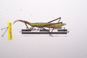 (Acrida - LopeORT14-269)  @14 [ ] by-nc-sa (2014) Nicolas Moulin Nicolas Moulin entomologie