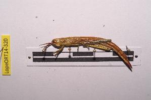 (Hemiacridinae - LopeORT14-320)  @14 [ ] by-nc-sa (2014) Nicolas Moulin Nicolas Moulin entomologie