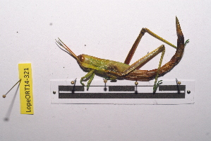 (Hemiacridinae - LopeORT14-321)  @14 [ ] by-nc-sa (2014) Nicolas Moulin Nicolas Moulin entomologie
