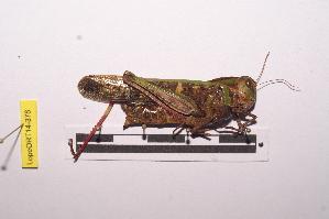 (Gastrimargus - LopeORT14-378)  @14 [ ] by-nc-sa (2014) Nicolas Moulin Nicolas Moulin entomologie