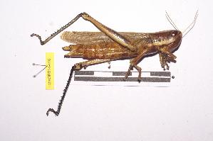 (Tropidopolinae - LopeORT14-416)  @14 [ ] CreativeCommons - Attribution Non-Commercial Share-Alike (2014) Nicolas Moulin Nicolas Moulin entomologie