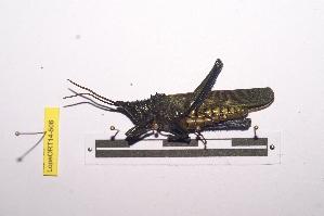 (Pyrgomorphinae - LopeORT14-506)  @11 [ ] by-nc-sa (2014) Nicolas Moulin Nicolas Moulin entomologie