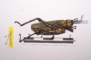 (Zonocerus - LopeORT14-610)  @11 [ ] by-nc-sa (2014) Nicolas Moulin Nicolas Moulin entomologie