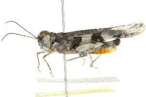 (Mestobregma - BIOUG02004-B01)  @15 [ ] CreativeCommons - Attribution Non-Commercial Share-Alike (2012) BIO Photography Group Biodiversity Institute of Ontario