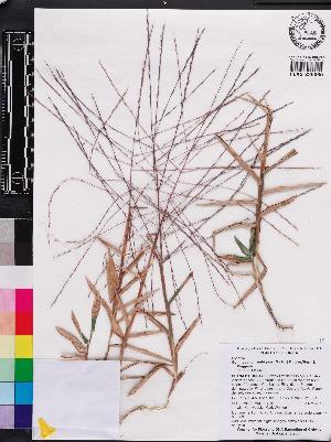 (Gymnopogon - OSBAR000006)  @11 [ ] Copyright (2014) Florida Museum of Natural History Florida Museum of Natural History