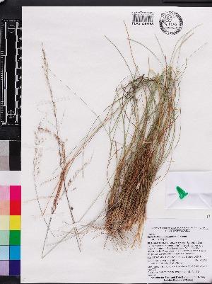 (Sporobolus junceus - OSBAR000009)  @11 [ ] Copyright (2014) Florida Museum of Natural History Florida Museum of Natural History