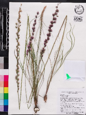 (Liatris tenuifolia - OSBAR000037)  @11 [ ] Copyright (2014) Florida Museum of Natural History Florida Museum of Natural History