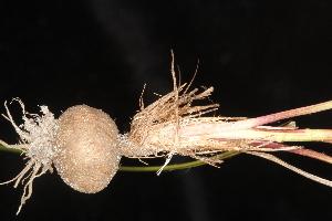 (Liatris tenuifolia - OSBAR000037)  @11 [ ] Copyright (2014) Florida Museum of Natural History Florida Museum of Natural History