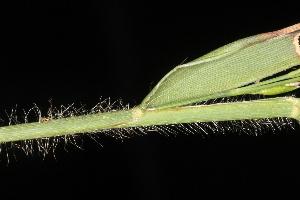 (Amphicarpum - OSBAR000064)  @11 [ ] Copyright (2014) Florida Museum of Natural History Florida Museum of Natural History