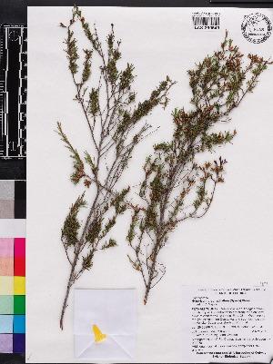 (Hypericum brachyphyllum - OSBAR000086)  @11 [ ] Copyright (2014) Florida Museum of Natural History Florida Museum of Natural History