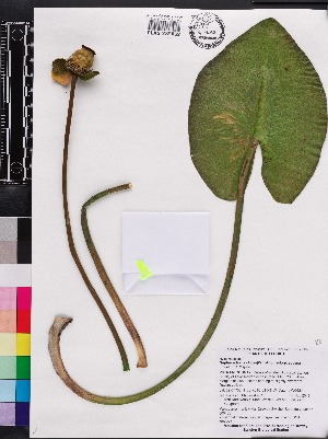 (Nuphar advena - OSBAR000108)  @11 [ ] Copyright (2014) Florida Museum of Natural History Florida Museum of Natural History