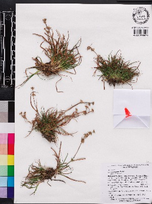 (Juncus repens - OSBAR000117)  @11 [ ] Copyright (2014) Florida Museum of Natural History Florida Museum of Natural History