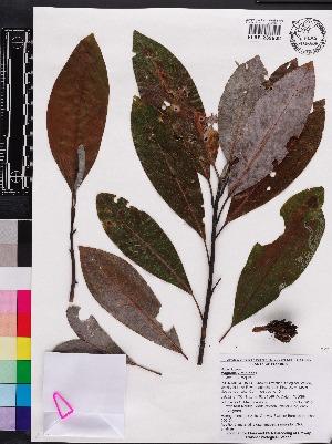 (Magnolia virginiana - OSBAR000134)  @11 [ ] Copyright (2014) Florida Museum of Natural History Florida Museum of Natural History