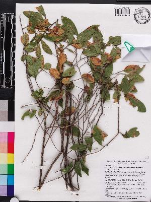 (Gaylussacia tomentosa - OSBAR000143)  @11 [ ] Copyright (2014) Florida Museum of Natural History Florida Museum of Natural History