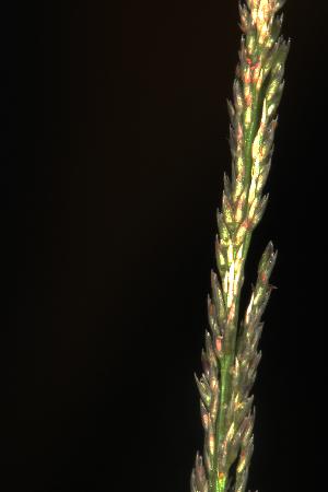 (Sporobolus indicus - OSBAR000154)  @11 [ ] Copyright (2014) Florida Museum of Natural History Florida Museum of Natural History