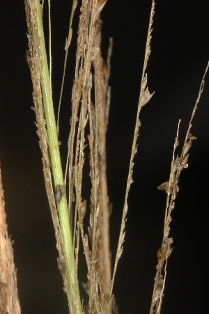 (Sporobolus diandrus - OSBAR000164)  @11 [ ] Copyright (2014) Florida Museum of Natural History Florida Museum of Natural History