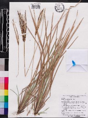 (Eustachys - OSBAR000174)  @11 [ ] Copyright (2014) Florida Museum of Natural History Florida Museum of Natural History