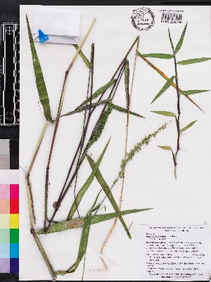 (Sacciolepis - OSBAR000204)  @11 [ ] Copyright (2014) Florida Museum of Natural History Florida Museum of Natural History
