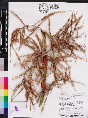 (Serenoa - OSBAR000231)  @11 [ ] Copyright (2014) Florida Museum of Natural History Florida Museum of Natural History