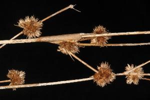 (Juncus scirpoides - OSBAR000254)  @11 [ ] Copyright (2014) Florida Museum of Natural History Florida Museum of Natural History