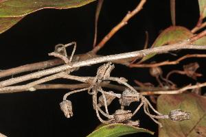 (Lyonia - OSBAR000267)  @11 [ ] Copyright (2014) Florida Museum of Natural History Florida Museum of Natural History