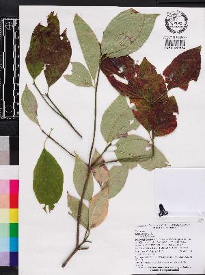 (Cornus florida - OSBAR000270)  @11 [ ] Copyright (2014) Florida Museum of Natural History Florida Museum of Natural History