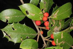 (Aquifoliaceae - OSBAR000271)  @11 [ ] Copyright (2014) Florida Museum of Natural History Florida Museum of Natural History