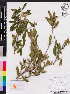 (Cyrillaceae - OSBAR000272)  @11 [ ] Copyright (2014) Florida Museum of Natural History Florida Museum of Natural History