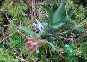 (Epidendrum - ORQ-87.Ep.m)  @11 [ ] Creative Commons (2014) Anne Damon El Colegio de la Frontera Sur
