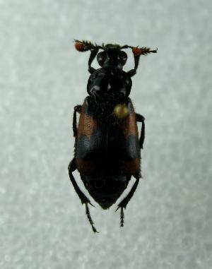 (Nicrophorus quadrimaculatus - PASS0012)  @11 [ ] CreativeCommons - Attribution Non-Commercial Share-Alike (2011) Eduardo R. Chame-Vazquez El Colegio de la Frontera Sur