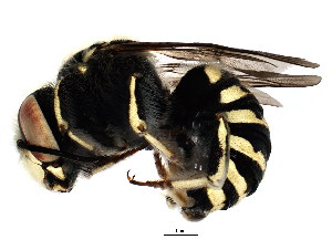 (Megachilinae - BIOUG01202-H10)  @17 [ ] CreativeCommons - Attribution Non-Commercial Share-Alike (2011) BIO Photography Group Biodiversity Institute of Ontario