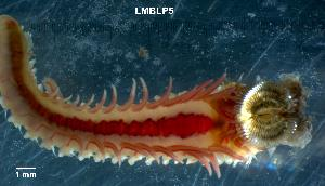 (Sabellariidae - LMBLP4-002)  @14 [ ] Unspecified (default): All Rights Reserved  Unspecified Unspecified
