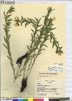 (Lithospermum caroliniense - CCDB-23308-C09)  @11 [ ] CreativeCommons - Attribution Non-Commercial Share-Alike (2014) CBG Photography Group Centre for Biodiversity Genomics