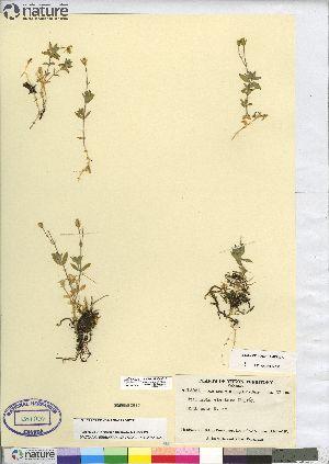 (Stellaria alaskana - CCDB-23308-C10)  @11 [ ] CreativeCommons - Attribution Non-Commercial Share-Alike (2014) BIO Photography Group Biodiversity Institute of Ontario