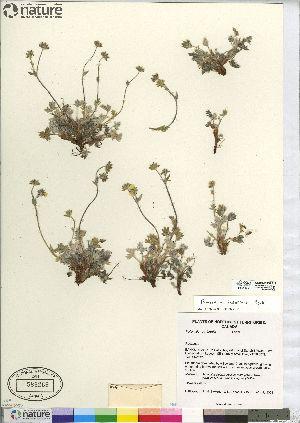 (Potentilla pedersenii - CCDB-23308-E12)  @11 [ ] CreativeCommons - Attribution Non-Commercial Share-Alike (2014) BIO Photography Group Biodiversity Institute of Ontario